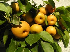 An meinem Spalier entdecke ich dieses Jahr eine besondere Apfelernte: Unglaublich viel Kraft braucht dieser Spalierast, um das grossartige «Apfelrudel» ertragen zu können. (Bild: Urs Jans (Rothenburg, 17. September 2018))
