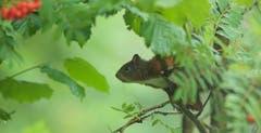 Das Eichhörnchen ist sprungbereit in Trogen (Bild: Hans Aeschlimann)