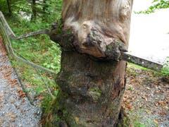 Der Baum war stärker als das Eisengeländer in der Rappenlochschlucht. (Bild: Rolf Schai)