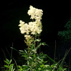 Mädesüss (Spierstaude) - im Volksmund auch Geissbart genannt. Riecht aromatisch, liebt schattige Feuchtgebiete. Gesehen beim Scheidgraben in Ennetbürgen. (Bild: Sepp Bernasconi)