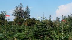 Warten auf Weihnachten und das bei dieser Wärme. Christbaumplantage bei Ruggisberg. (Bild: Franz Häusler)