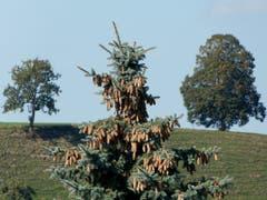 Nicht alle Bäume tragen Zapfen. (Bild: Josef Lustenberger (Steinhuserberg, 20. September 2018))