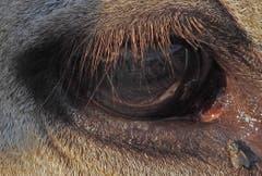 Auge in Auge... Fliege vs. Kuh (Bild: Renato Maciariello)