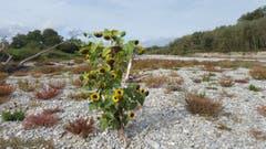 Symbolträchtiges Bild für die letzten Monate: Teilweise ausgetrocknetes Flussbett und trotzdem wuchsen die Sonnenblumen. Aufgenommen im Flussbett der Thur zwischen Niederneunforn und Fahrhof. (Bild: Stephan Lendi)