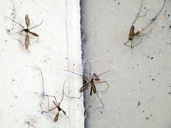 Die Vorratskammer dieser Spinne ist schon gut gefüllt. (Bild: Josef Lustenberger (Wolhusen, 22. September 2018))