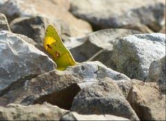 Der Hufeisenklee-Gelbling wurde trotz gutem Versteck entdeckt. (Bild: Josef Lustenberger (Wolhusen, 22. September 2018))