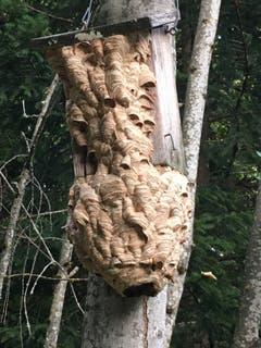 Ein Wespennest am Vogelhäuschen, geplündert durch Hornissen im Magdenauer Wald. (Bild: Otmar Gerschwiler)