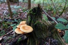 Verschiedene Pilzarten bevorzugen als Standort totes Holz - im Bild im Wald bei Eschenz. (Leserbild: Christian Müller - 16. November 2016)