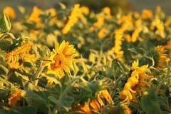 Nicht erwartet, aber umso mehr habe ich mich über dieses spätblühende Sonnenblumenfeld gefreut (Bild: Irene Wanner (Egolzwil, 25. September 2018))