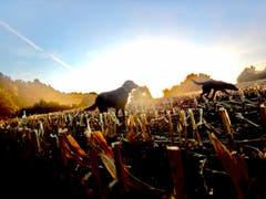 Morgenstimmung auf dem geernteten Maisfeld in Neuchlen, Gossau. (Bild: Anita Utiger)