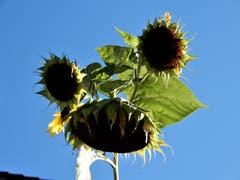 Auch wenn diese Sonnenblumen schon lange nicht mehr blühen, versprühen sie einen gewissen Reiz und wirken noch immer sehr anzüglich ! Aufgenommen in Immensee. (Bild: Margrith Imhof-Röthlin (Immensee, 27. September 2018))
