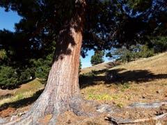 Wunderschöner Baum, aufgenommen zwischen der Moosalp und Bürchen. (Bild: Bruno Ringgenberg, 29. September 2018)