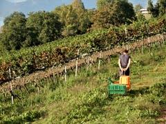 Es ist ein «Chrampf», die Schlitten in den Rebberg des Weinguts Letten zu ziehen. Aber man kann mit der Traubenlese aus verständlichen Gründen nicht zuwarten, bis es Schnee im Rebberg hat. (Bild: Margrith Imhof-Röthlin (Letten, 29. September 2018))