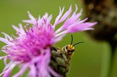 Eine Seidenbiene. (Bild: Marianne Schmid (Thurauen, 2. September 20118))