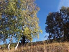 Wunderschöne Birken, aufgenommen in Bürchen. (Bild: Bruno Ringgenberg, 29. September 2018)