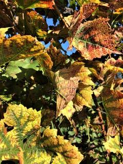 Was für eine unvergleichbare, einmalige Künstlerin ist im Herbst die Natur . Aufgenommen im Weingut Letten in Meggen. (Bild: Margrith Imhof-Röthlin (Meggen, 30. September 2018))