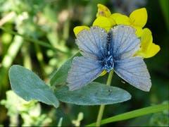 Bei Sonnenschein und warmen Temperaturen ist der Bläuling immer noch unterwegs. Eine wunderbare Farbkombination: Grün, gelb, blau! (Bild: Josef Lustenberger (Wolhusen, 4. September 2018))