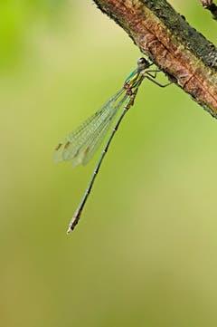 Eine Libelle, aufgenommen in Eich. (Bild: Marianne Schmid (Eich, 4. September2018))