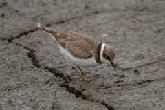 Ein Sandregenpfeifer sucht in den Erdspalten nach Nahrung. (Bild: Edgar Huber)