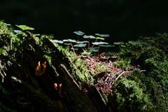 Auf einem alten , vermoderten Baumstrunk liegt die Schönheit. (Bild: Franz Häusler)