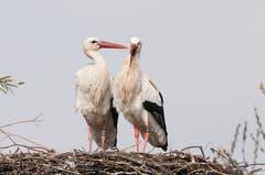 In der Schweiz ist er ein regelmässiger Brutvogel und Durchzügler. Er überwintert vorzugsweise in Westafrika und Spanien. Landwirtschaft und Pestizide machten den Stelzvögeln in der Vergangenheit zu schaffen. Dank Wiederansiedlungsprojekten nimmt der Storchenbestand hierzulande aber wieder zu. (Bild: Peter Vonwil)