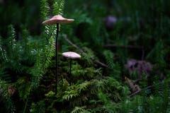 Pilze im modrigen Rotmoos. (Bild: Franz Häusler)