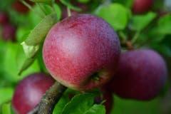 Der knackig süsse Apfel ohne den kleinsten Makel lädt zum Reinbeissen ein. (Bild: Karl Odermatt (Malters, 5. September 2018))