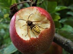 Aktive Wespen diesen Herbst, diese Wespe labt sich an einer Delikatesse. (Bild: Josef Habermacher (Rickenbach, 7. September 2018))
