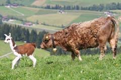 Eine spezielle Begegnung zwischen einem Lama und einer Kuh. (Bild: Philipp Schmidli (Escholzmatt, 30. Mai 2012))