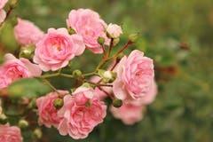 Rosen verschönern den Spätsommer (Bild: Irene Wanner (Schötz, 7. September 2018))