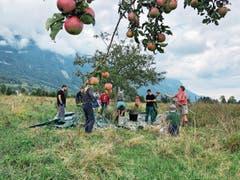 Die fleissigen Helfer vom Lukashaus in Grabs haben derzeit alle Hände voll zu tun. Dennoch sind weitere Baumspender herzlich willkommen. (Bild: Bilder: Jessica Nigg)