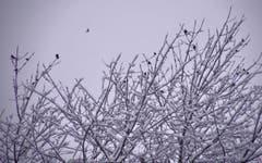 Vögel suchen Schutz in einem verschneiten Baum. (Bild: Ruedi Dörig)