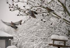 Auch Tauben suchen Futter im Schnee. (Bild: Ruedi Dörig)