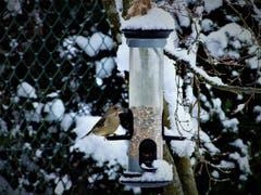 Wer früh eintrifft stösst wie dieser Grünfink auf eine «sturmfreie Futterstelle»! (Bild: Margrith Imhof-Röthlin (Meggen, 12. Januar 2019))