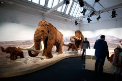 Mammuts waren eindrückliche Tiere. (Bild: Stefan Kaiser (Zug, 13. Januar 2019))
