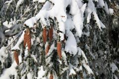 Verschneite Tannenzapfen am Weg zum Hohen Hirschberg. (Bild: Vreni Tanner)