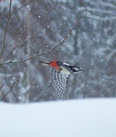 Ein Buntspecht im Schneegestöber in Trogen. (Bild: Hans Aeschlimann)
