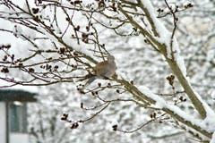 Nicht alle mögen Tauben. Die Taube im Schnee ist aber eine Schönheit. (Bild: Ruedi Dörig)