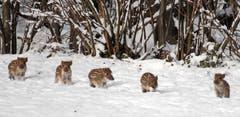 Frischlinge im Güttinger Wald. (Bild: Barbara Weber)