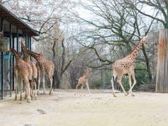 Fünf Tage nach ihrer Geburt erkundete Penda bereits die Aussenanlage. (Bild: Keystone/Zoo Basel (Torben Weber))