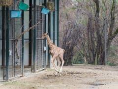 Wegen der Kälte bleiben die Giraffen im Winter jedoch nicht sehr lange draussen. (Bild: Keystone/Zoo Basel (Torben Weber))