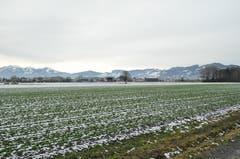 Das Rheintal ist der grösste Spinatlieferant der Schweiz.