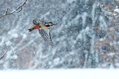 Buntspecht im Schneegestöber auf Futtersuche. (Bild: Hans Adelmann)