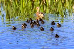 Entengeschwader am Wenigerweier: Eine Stockenten-Mutter mit ihren Jungen. (Bild: Klaus Stadler)