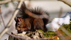 Kaum ist der Schnee weg, kommt das hungrige Eichhörnchen. (Bild: Paul Scheibling)