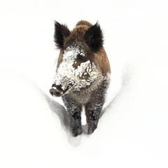 Das Wildschwein im Schnee im Wildpark Peter & Paul (Bild: Stella Catenazzi)