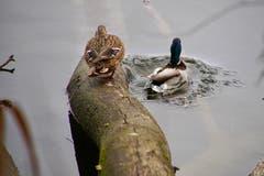Ein Stockentenpaar geht baden. (Bild: Ruedi Dörig)