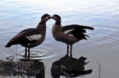 Ein Küsschen am Morgen im Gübsensee. (Bild: Irene Weibel)