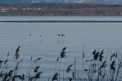 Wasservögel versammeln sich zwischen Güttingen und dem deutschen Ufer. (Bild. Franz Häusler)