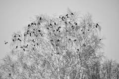 Krähen belagern eine Birke. (Bild: Ruedi Dörig)
